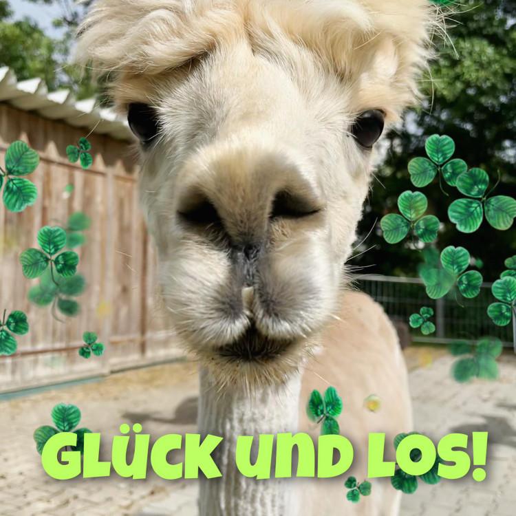 Glück und los! Mit Alpakas & Lamas (3,5 Std)