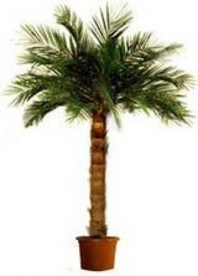 Areka-Echtblattpalme groß